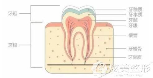 牙齿的结构分析